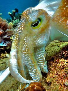 Up Close. The dominant featured smoothly-curving W shape pupils of a giant cuttlefish.