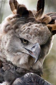 Harpy Eagle ~ Photos Hub