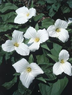 White Trillium - Trillium grandiflorum is a charming woodland wildflower suitable for growing in shade gardens. It features three whorled leaves and large, three-petaled white flowers with slightly ruffled edges. Discover HGTV Gardens' top picks for plants that thrive in the shade.