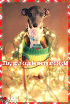 dog holiday card xmas dog card there is no way my iggy would let me do this - Funny Dog Christmas Cards