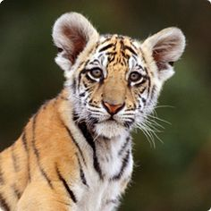 Nicobar, Ashiana's pet tiger cub