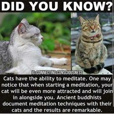 Have you ever had a cat or other pet join you for yoga or meditation? 🙏✨ Graphic via I Love Cats, Crazy Cats, Crazy Cat Lady, Cute Cats, Funny Cats, Animals And Pets, Funny Animals, Cute Animals, Animals Beautiful