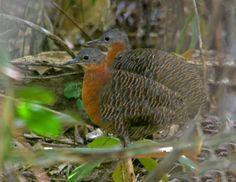 Foto inhambu-anhangá (Crypturellus variegatus) por Aureo Guaitolini   Wiki Aves - A Enciclopédia das Aves do Brasil