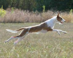 ibizan hound photo | Hound Dogs Running | via Ibizan Hound Rescue on Facebook