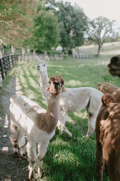 two white sheep on grass photo – Free Alpaca Image on Unsplash Alpaca Images, Hd Photos, Mammals, Sheep, Digital Prints, Grass, Fingerprints, Grasses, Herb