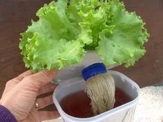 Como plantar alface hidropônica em casa.