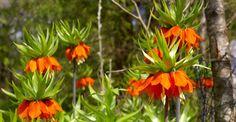 Esenţialul despre Floarea Paştelui | Paradis Verde Home And Garden, Paradis, Gardening, Garden Ideas, Medicine, Plant, Life, Garten, Lawn And Garden