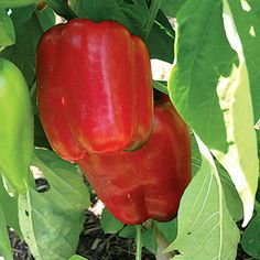 Two Live Plants Lady Bell Red Pepper Plant Each 4 Inch to 7 Inch Tall Inch Pots Family Run Busin Sweet Bell Peppers, Stuffed Sweet Peppers, Red Peppers, Organic Fertilizer, Organic Gardening, Capsicum Annuum, Pepper Plants, Pepper Seeds, Family Garden