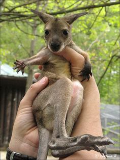 Baby kangaroo. Look at the size of his hind feet.