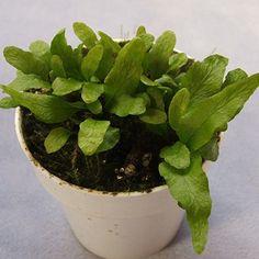 12 Best Favorite Terrarium Plants Images Miniature Plants