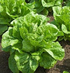 Ridgeline Romaine Lettuce is the best for romaine hearts in spring.