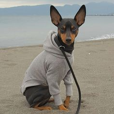 The Doberman Pinscher is among the most popular breed of dogs in the world. Known for its intelligence and loyalty, the Pinscher is both a police- favorite bree Mini Pinscher, Miniature Pinscher, Doberman Pinscher, Mini Doberman, Miniature Doberman, Cute Animal Pictures, Dog Pictures, Chihuahua Puppies, Dogs And Puppies