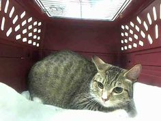 Killed at ACC- TO BE DESTROYED 7/18/14 ** Mom to 4 newborn kittens - BEHAVIOR HAS SIGNIFICANTLY IMPROVED. NURSING KITTENS WELL ** Brooklyn Center  My name is ABIGAIL. My Animal ID # is A1006241. I am a female brn tabby and white domestic sh mix. The shelter thinks I am about 1 YEAR  I came in the shelter as a STRAY on 07/11/2014 from NY 11216. I came in with Group/Litter #K14-185420.