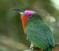 Red Bearded Bee-Eater