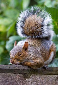 Squirrel taking a Nap . Cute Squirrel, Baby Squirrel, Squirrels, Raccoons, Squirrel Pictures, Cute Animal Pictures, Amazing Animals, Animals Beautiful, Cute Funny Animals