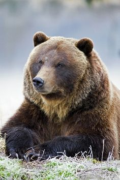 Grizzly bear portrait on a frosty morning by (Gary Lackie)