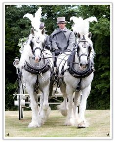 Image detail for -beautiful white shire horses if a horse and carriage is