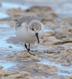 Strandline birds - Sanderlings live on the tide edge, moving up and down the beach with the waves. This one was making its way along the shore searching for food. Wonderful Photo from..Drumimages.co.uk - Damian Waters...check out his magnificent Photos !!