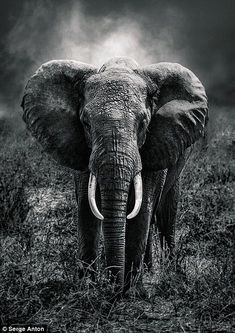As well as taking stunning portraits, Mr Anton also snapped pictures of the landscape. Elephants Photos, Elephant Pictures, Save The Elephants, Animal Pictures, Elephant Love, Elephant Art, Elephant Tattoos, Beautiful Creatures, Animals Beautiful