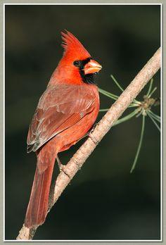 Photographie Nature - Cardinal rouge