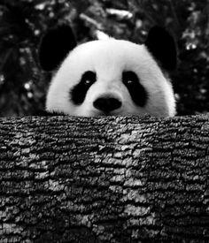 のぞきこみパンダ:panda peek a boo