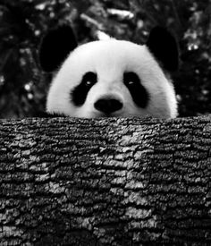 See a panda. Or two. Really, I don't care how many, I just want to see one. Then, I'll try to explain what a bad idea being completely reliant on bamboo is.