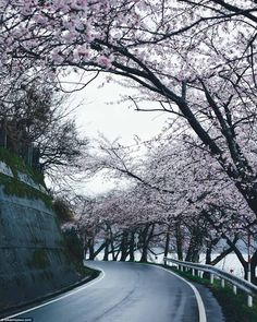 Kaizu-Osaki is a famous for its beauty with its pink cherry trees here in full bloom against the dark blue waters of Lake Biwa