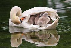 Une petite famille de souris toute mignonne et un cygne qui met ses cygnets bien à l'abri sous la douceur de son aile.