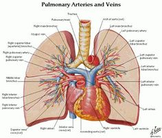 Human Lungs and Heart Diagram HLH04