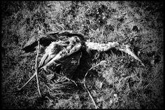 'A journey ends' #photography #blackandwhite #art #death #bird #bones #journey #nature