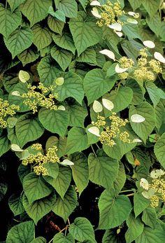 Moonlight Chinese Hydrangea Vine - Monrovia - Moonlight Chinese Hydrangea Vine