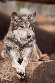 Wolf by Milena LaFranca on Flickr*