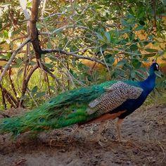 SAN LUIS TALPA EL SALVADOR #pavoreal en la granjita del hotel @esteroymar #peacock at #ranchoesteroymar farm #elpimental #elsalvadorgram #mipaistupaissv #birdsofinstagram #peacocks #aves #salvagram #dontskipelsalvador #descubreelsalvador #elpulgarcitodecentroamerica