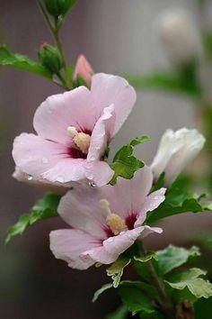 Hibiscus 'Pink Resi'