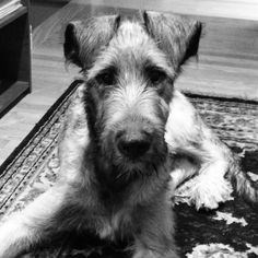Four month old Irish Wolfhound Puppy.