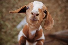 """The baby goat looked up at Eunice with an angelic face, smiled ever so slightly, and then in a slight voice said, """"Shit. LOL."""""""