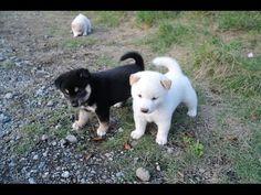怖がりな柴犬の子犬(オートバイの音編)20140902 - YouTube