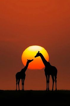 Giraffe Mom and her youngster, against an African Sunset. Sunset Photography, Animal Photography, Beautiful Creatures, Animals Beautiful, Animals And Pets, Cute Animals, African Sunset, Art Africain, Tier Fotos