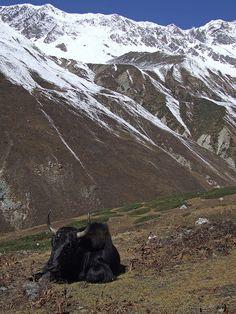 Yak - Himalayas - Gandaki, Nepal