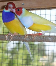 lady gouldian finch - Google Search