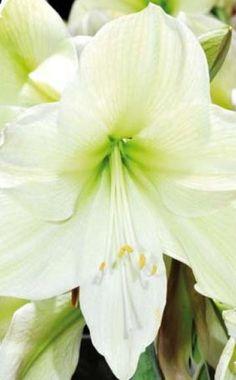 """Die besonders großen, lilienartigen Blüten von Hippeastrum """"Moonlight"""" sind zart gelb und nach innen grün"""