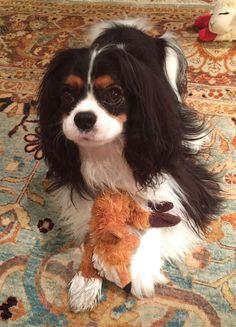 King Charles Cocker Spaniel, Cavalier King Spaniel, King Charles Puppy, Cavalier King Charles Dog, Cocker Spaniel Puppies, Spaniel Dog, Spaniels, Spaniel Breeds, Best Dog Breeds
