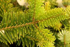 Forrest's Fir, Abies Forrestii bonsai tree seeds - 10seeds