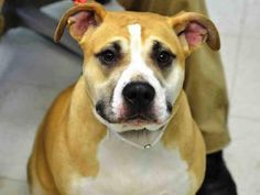 Staten Island Center CASEY - A1026295 SPAYED FEMALE, TAN / WHITE, PIT BULL MIX, 1 yr, 2 mos OWNER SUR - EVALUATE, HOLD FOR ID Reason MOVE2PRIVA Intake condition EXAM REQ Intake Date 01/25/2015 https://www.facebook.com/photo.php?fbid=950376294975250