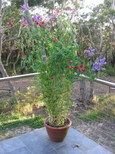 growing sweet peas in containers caring for potted sweet pea flowers 51 of 20 Stylish Sweet Pea Trellis Bamboo 2019 Flower Farm, Flower Pots, Potted Flowers, Back Gardens, Outdoor Gardens, City Gardens, Indoor Outdoor, Vegetable Garden, Garden Plants