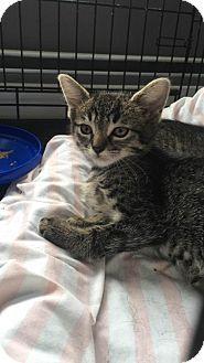 Rockaway, NJ - Domestic Shorthair. Meet Destin Kitten NK, a kitten for adoption. http://www.adoptapet.com/pet/15506145-rockaway-new-jersey-kitten