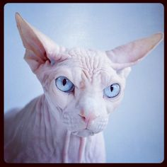ugly cat sphynx 2 The Five Ugliest Cat Breeds In The World Gato Sphinx, Sphynx Gato, Chat Sphynx, Grumpy Cat, Bizarre Animals, Funny Animals, Cute Animals, Chat Oriental, Kitty Cats