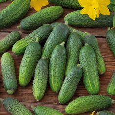 """Sorte Diese ertragreiche Sorte aus Paris ist seit dem 19. Jhdt. traditionell als Einlegegurke gezüchtet worden, man kann sie aber auch länger wachsen lassen und wie eine Salatgurke verwenden. Die delikaten, jungen Früchte der """"Vert Petit de Paris"""" sind als Gewürzgurken jedenfalls optimal. Es gibt wohl kaum ein erfrischenderes Gemüse als die Gurke. Meist wird sie daher auch einfach roh gegessen, ob als feiner Salat oder als leichter Snack in Stifte geschnitten, versorgt uns die Frucht mit… Paris, Bio, Cucumber, Vegetables, Light Snacks, Crop Rotation, Eating Raw, Fruits And Veggies, Fennel"""