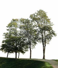 Big trees group 1 - cutout trees