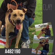 06/12/15-  Pit a Boo and The San Bernardino Pups May 25 · Edited ·     EXTREMELY URGENT!!!!! OVERDUE! CLAY #A482190 (AVAILABLE 5/27) Rescue only  Clay is extremely friendly. He is super happy and playful. But he got upset when animal control was trying to get in when he was on the field. Completely understand how scared he must had been. Sadly now Clay is one of the most urgent dogs and need a plan ASAP. Video in the play yard: https://www.facebook.com/649241055113967/videos/921340441237359…